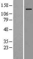 NBL1-17659 - USP36 Lysate