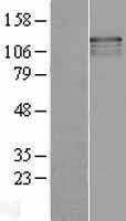NBL1-17660 - USP37 Lysate