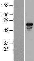NBL1-17662 - USP39 Lysate