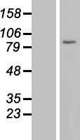 NBL1-17664 - USP44 Lysate