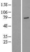 NBL1-17665 - USP44 Lysate