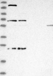 NBP1-81173 - USP49