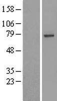NBL1-17668 - USP49 Lysate