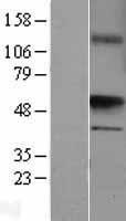 NBL1-17674 - UST Lysate
