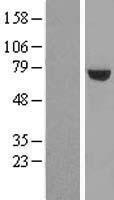 NBL1-17680 - UTP6 Lysate