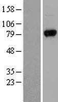 NBL1-17684 - UVRAG Lysate