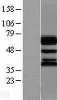 NBL1-17562 - Ubiquilin 1 Lysate