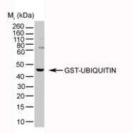 NB600-776 - Ubiquitin