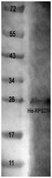 NBP1-42465 - RPS27A