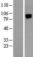 NBL1-17616 - Unc5a Lysate