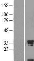 NBL1-15732 - Uteroglobin Lysate