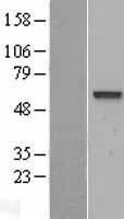 NBL1-13205 - VAM1 Lysate