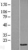 NBL1-17687 - VAMP1 Lysate