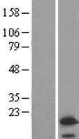 NBL1-17689 - VAMP4 Lysate