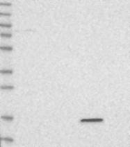 NBP1-85913 - VAMP-5 / Myobrevin
