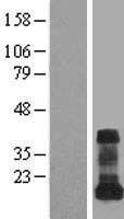 NBL1-17690 - VAMP5 Lysate