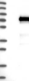 NBP1-86990 - Vang-like protein 1 (VANGL1)