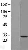 NBL1-17693 - VAPA Lysate