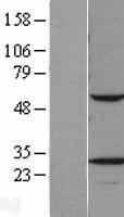 NBL1-17694 - VAPB Lysate
