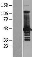 NBL1-17699 - VASP Lysate