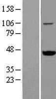 NBL1-17700 - VAT1 Lysate