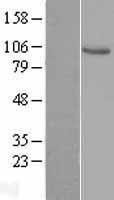 NBL1-17701 - VAV1 Lysate