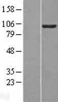 NBL1-17702 - VAV2 Lysate