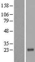 NBL1-17703 - VAX1 Lysate