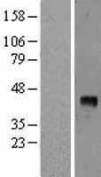 NBL1-10722 - VEGFD Lysate