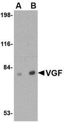 NBP1-76906 - VGF