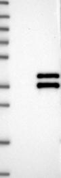 NBP1-81543 - VGLL4