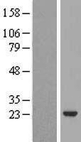 NBL1-11689 - VILIP3 Lysate