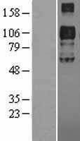 NBL1-17729 - VLDL Receptor Lysate