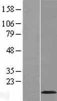 NBL1-12586 - VMA21 Lysate