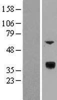 NBL1-17730 - VMO1 Lysate