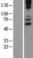 NBL1-17732 - VNN1 Lysate
