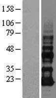 NBL1-10101 - VOPP1 Lysate