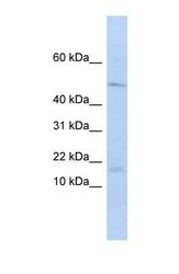 NBP1-70741 - CD179a / VPREB1