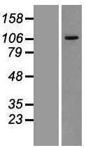 NBL1-17736 - VPS11 Lysate
