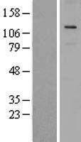 NBL1-17737 - VPS18 Lysate