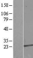 NBL1-17739 - VPS25 Lysate