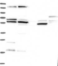 NBP1-85868 - VPS33A