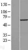 NBL1-17745 - VPS33B Lysate