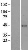 NBL1-17759 - VRK1 Lysate