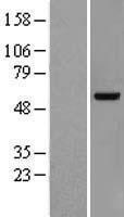 NBL1-17760 - VRK2 Lysate