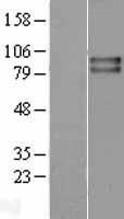 NBL1-17341 - VRL1 Lysate