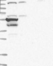 NBP1-81072 - VSIG1
