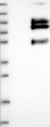 NBP1-81074 - VSIG1