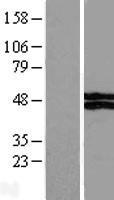 NBL1-17763 - VSIG4 Lysate