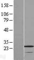 NBL1-17765 - VSTM2A Lysate